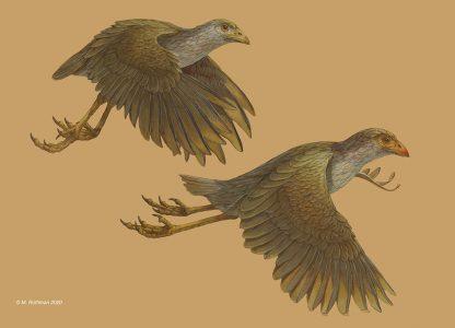 "Michael Rothman • <em></em>Asteriornis maastrichtensis<em></em> • Acrylics • 18""×13"" • $1,000.00"