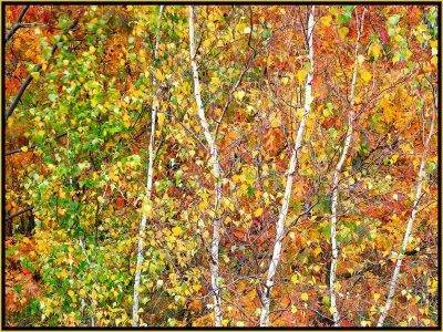 """David Watkins Jr • <em>Aspens in Transition, 10/2008, Acadia</em> • Archival pigment on canvas • 40""""×30"""" • $525.00<a class=""""purchase"""" href=""""https://state-of-the-art-gallery.square.site/product/david-watkins-jr-aspens-in-transition-10-2008-acadia/320"""" target=""""_blank"""">Buy</a>"""