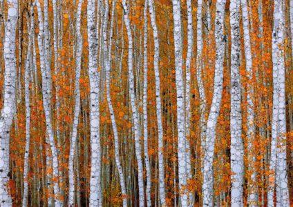 "Daniel McPheeters • <em>Autumn Aspens</em> • Mixed media on panel • 24""×17"" • NFS"