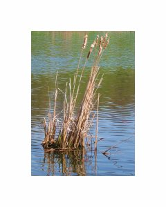 "Eva M. Capobianco • <em>Reeds at Cornell Arboretum</em> • Digital print • 8""×10"" • $25.00<a class=""purchase"" href=""https://state-of-the-art-gallery.square.site/product/eva-m-capobianco-reeds-at-cornell-arboretum/551"" target=""_blank"">Buy</a>"