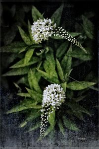 "David Watkins Jr • <em>Gooseneck Loosestrife</em> • Archival pigment on metal • 8""×12"" • $35.00<span class=""sold""></span>"