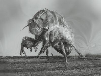 "Susan C. Larkin • <em>Cicada</em> • Metal print • 12""×9"" • $50.00"
