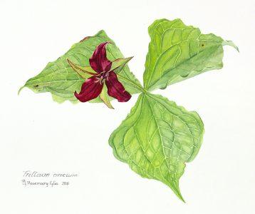 """Rosemary Glos • <em>Trillium erectum</em> • Watercolor • 11""""×8"""" • $200.00"""