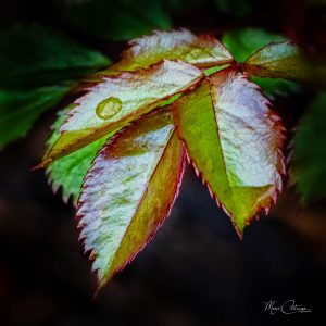 """Marie Costanza • <em>Spring Rose Leaves</em> • Metal print framed with a wedge float frame • 10""""×10"""" • $165.00<a class=""""purchase"""" href=""""mailto:marienwt@aol.com?subject=Inquiry about Spring Rose Leaves"""" target=""""_blank"""">Contact</a>"""