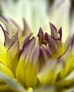 """Nancy V Ridenour • <em>Macro Dahlia Center</em> • Digital image on canvas • $150.00<a class=""""purchase"""" href=""""https://state-of-the-art-gallery.square.site/product/nancy-v-ridenour-macro-dahlia-center/622"""" target=""""_blank"""">Buy</a>"""